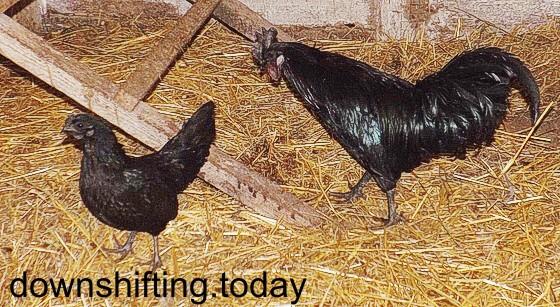 айам цемани, курица и петух, фото, елена шмыгина